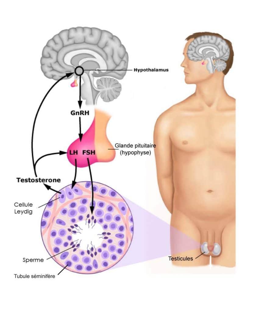 La GnRH est une neurohormone.Les cellules gonadotropes de l'hypohyse, Sous l'action de la GnRH, sécrètent des gonadostimulines LH et FSH qui sont transportées par le sang. Elles agissent sur les cellules des testicules en stimulant la production de testostérone et de spermatozoïdes.